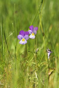 220px-Viola_tricolor_LC0041