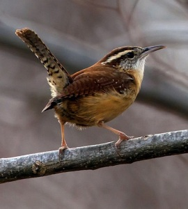 carolina-wren-wikipedia